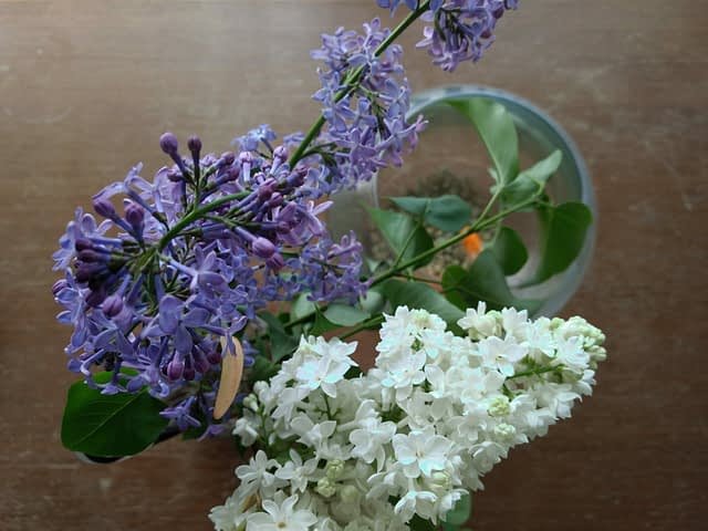 Lilac and White Lilac Flowers